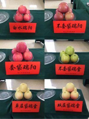 瑞阳苹果与瑞雪苹果对比
