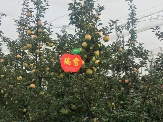 瑞雪苹果树