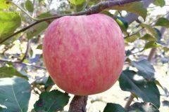 新品种秦脆苹果