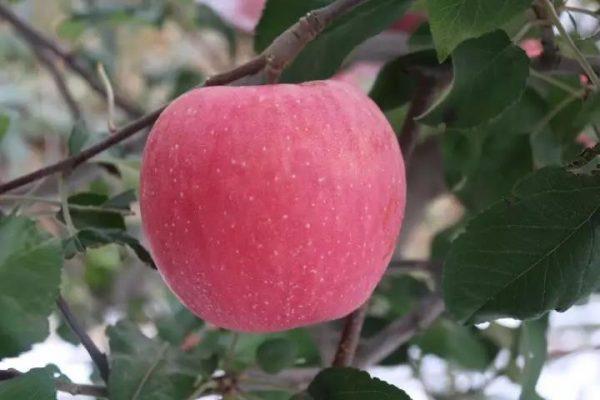 烟富十号苹果苗