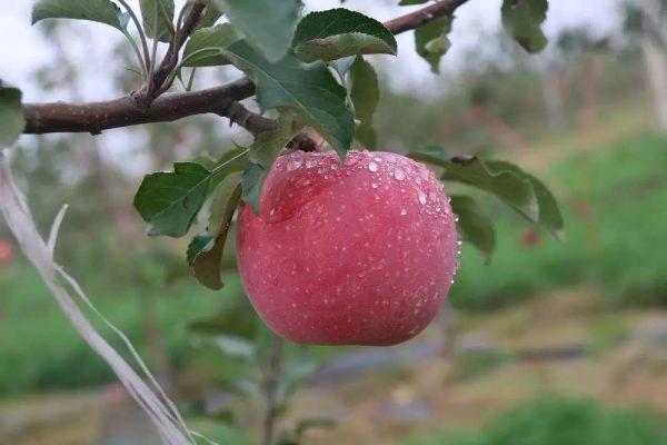 烟富3号苹果