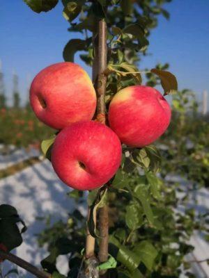 蜜脆苹果图片