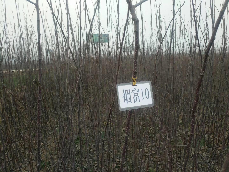 陕西烟富10号苹果苗