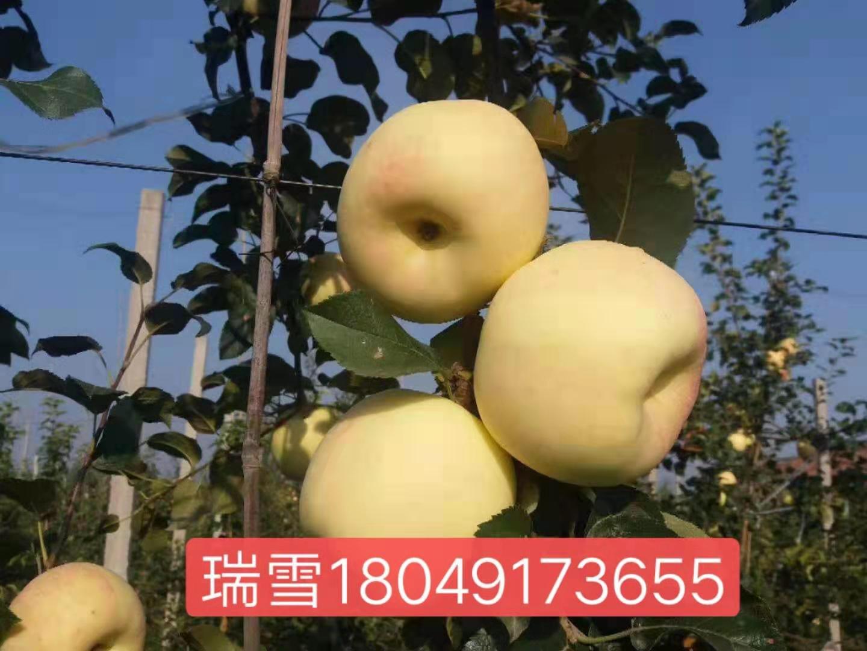 瑞雪苹果图片
